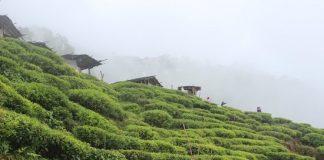 tea garden setup